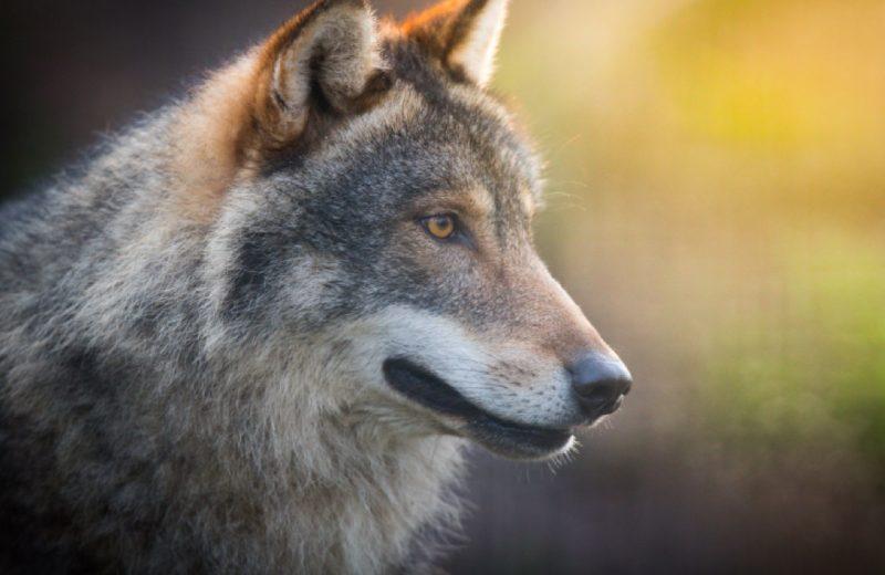 2019-chiens-loups-naturalparc-st-laurent-des-autels-49-levignobledenantes