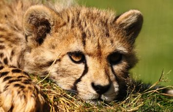 2014-zoodelaboissiere-laboissieredudore-guepard-44-LOI-DSCF8899