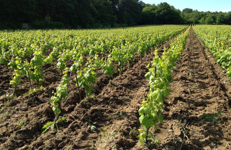 2019-FamilleLieubeau-vignes-chateauthebaud-44-levignobledenantes