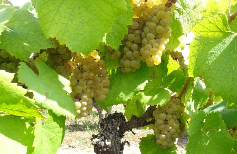 2019-vignes-domaineraphaëlluneau-lelandreau-44-vignobledenantes