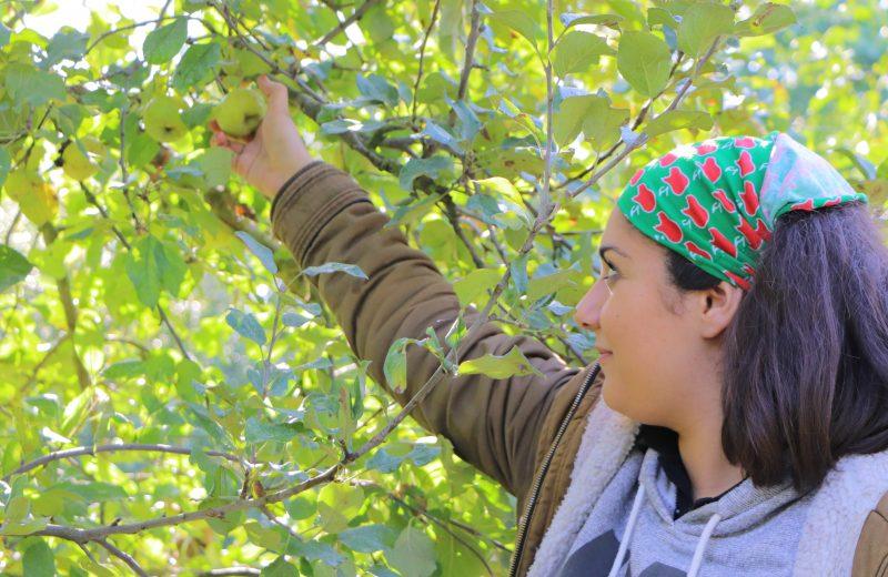 cueillette des pommes côteaux nantais