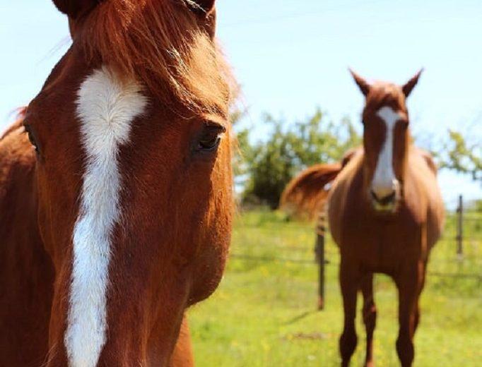 cheval-vignes-en-selle-st-crespin-sur-moine-sevremoine-nantes-cholet-clisson-2