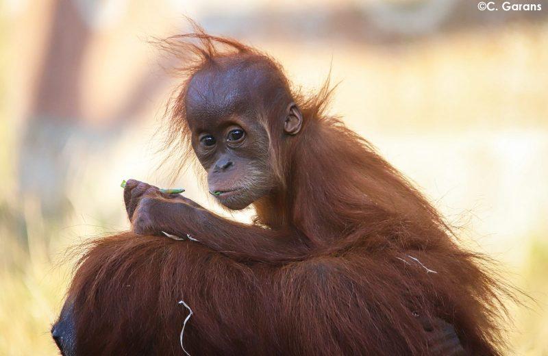 zoo-Orang-outan de Sumatra-la-boissiere-44