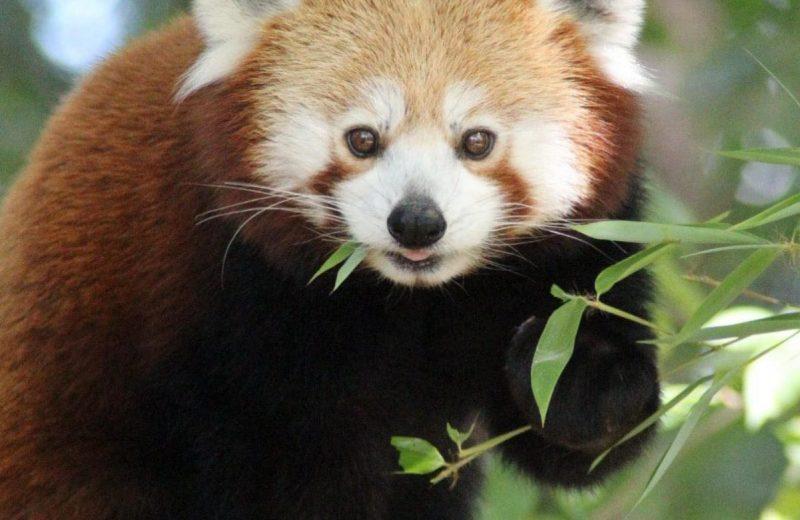 zoo-Panda roux-la-boissiere-44