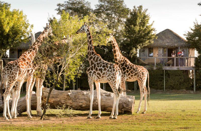 Photo-girafebddredim-levignobledenantes-tourisme