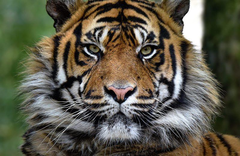 zoo-Tigre de Sumatra-la-boissiere-44