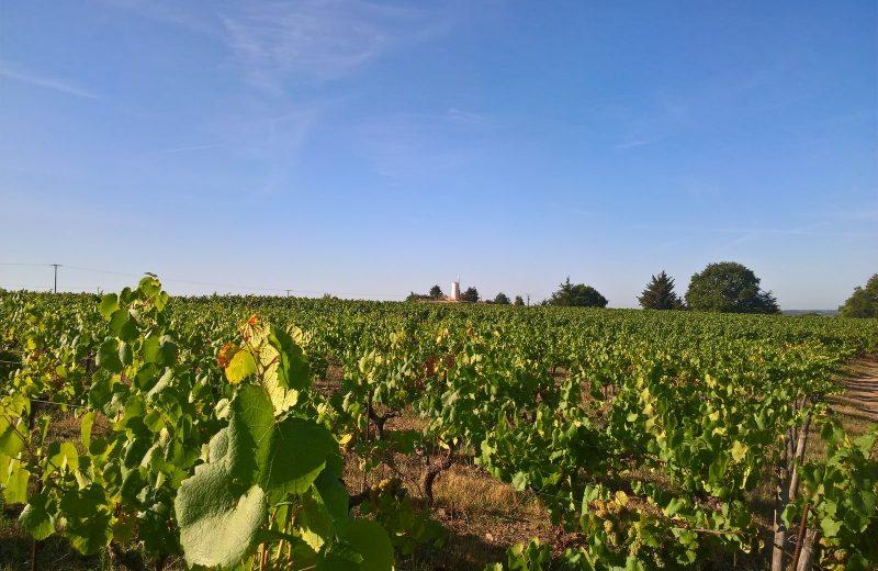 Vignes-et-moulin—circuitdeshorizons-lelorouxbottereau-44-levignobledenantes