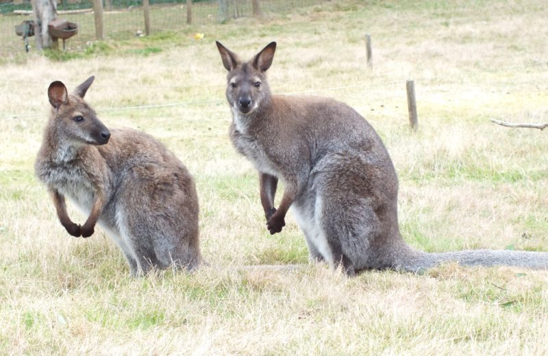 Wallabies-Natural'Parc