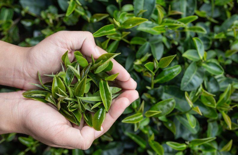 Tea picker woman's asian  hands – close up,pretty tea-picking girl in plantation.
