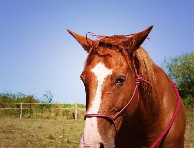 chevaux-vignes-en-selle-st-crespin-sur-moine-sevremoine-nantes-cholet