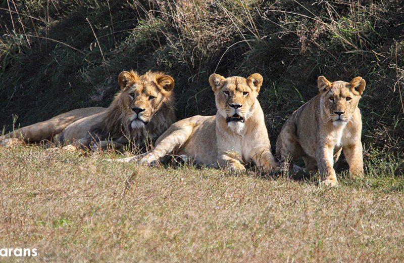 zoo-lions d'afrique-la-boissiere-44