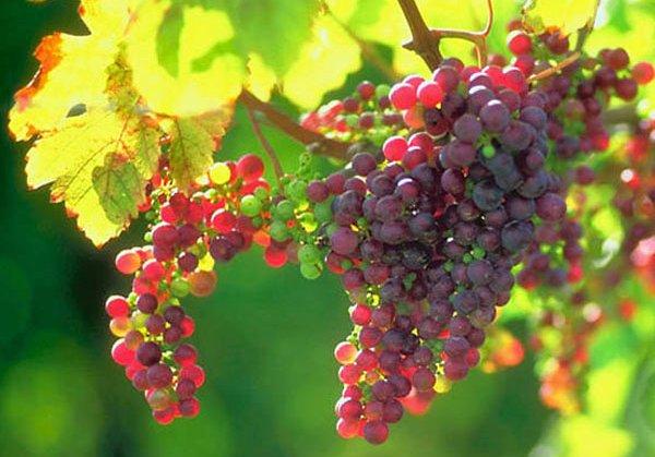 vignes-soleil-grappes-rouge